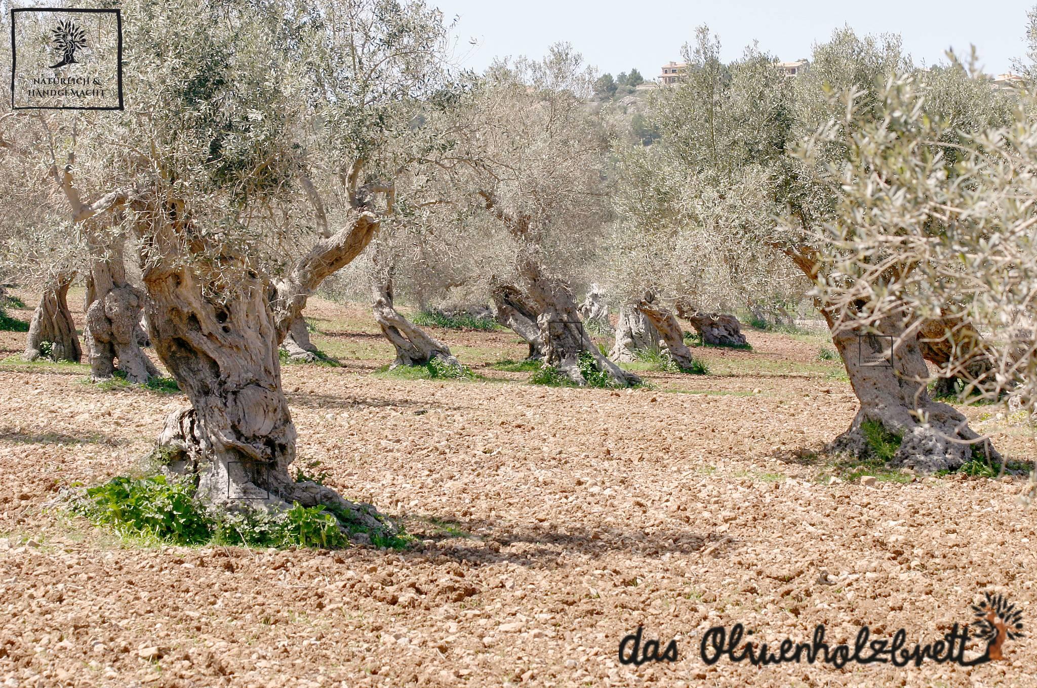 dicke olivenbäume