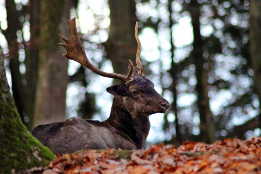 Wildpark-Daun-schwarzer-Hirsch