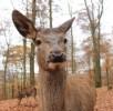 hirsch-selfie-wildpark-daun