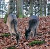 rehkitz-wildpark-daun