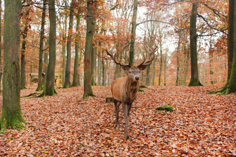 wildpark-daun-hirsch-wald