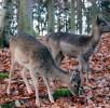 wildpark-daun-rehkitze