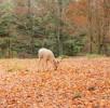 wildpark-daun-weißer-hirsch