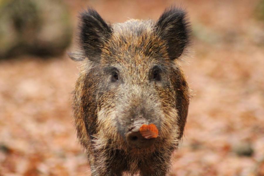 wildschwein-wildpark-daun