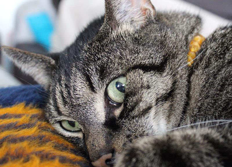 Amber-Crown-Bernsteinkette-Katze
