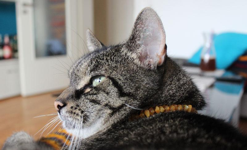 Bongo-Bernsteinkette-Katze