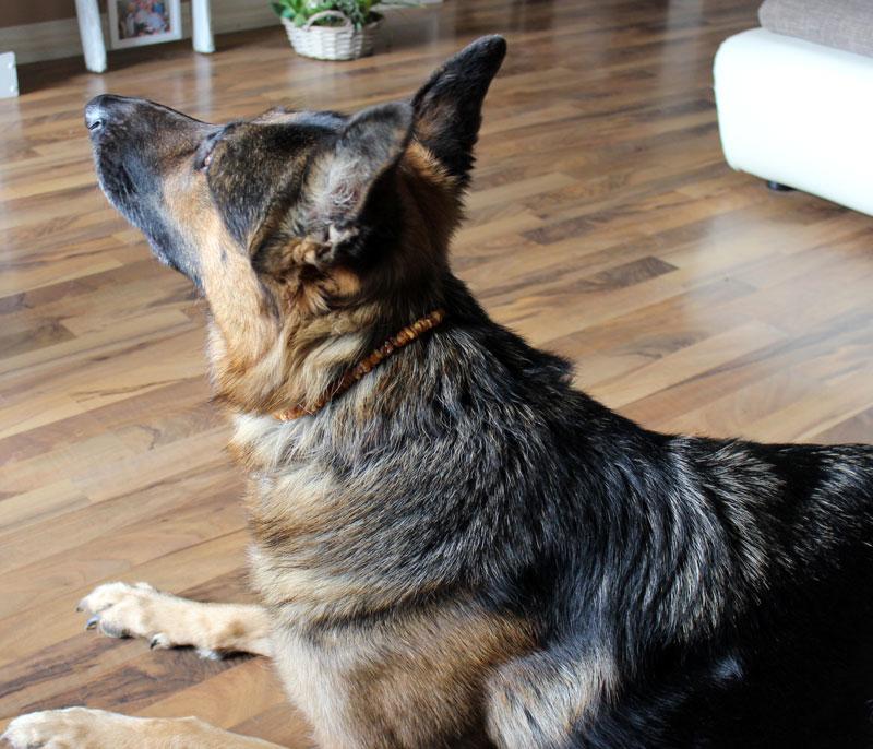 chemiefreier-Zeckenschutz-Hund-Bernsteinkette